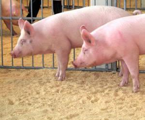 Febbre suina, a picco le vendite di carne di maiale