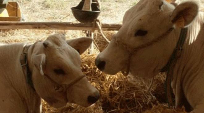 """Domenica al mattatoio va in scena la """"Fiera del bestiame"""""""