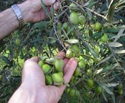 Pubblicato il bando per la raccolta gratuita delle olive