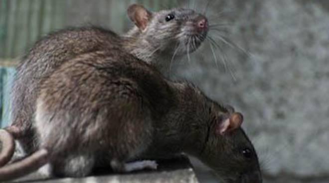 """Pascucci: """"Nel territorio nessuna invasione di topi"""""""