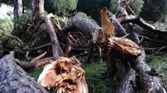 Pineta Monumentale di Fregene, risolto il problema dei pini pericolanti