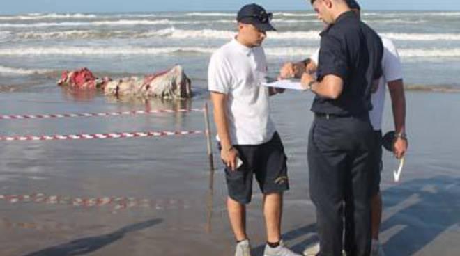 Sul litorale di Ardea i resti della Balena spiaggiata