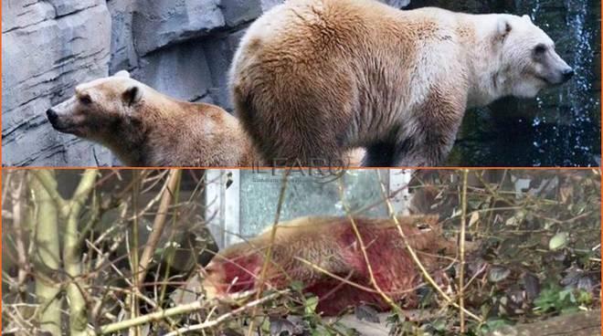 abbattuto orso taps fuggito zoo germania