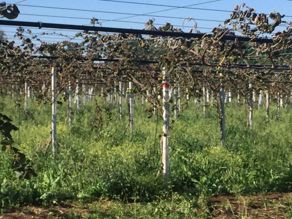piantagioni colpite dal gelo