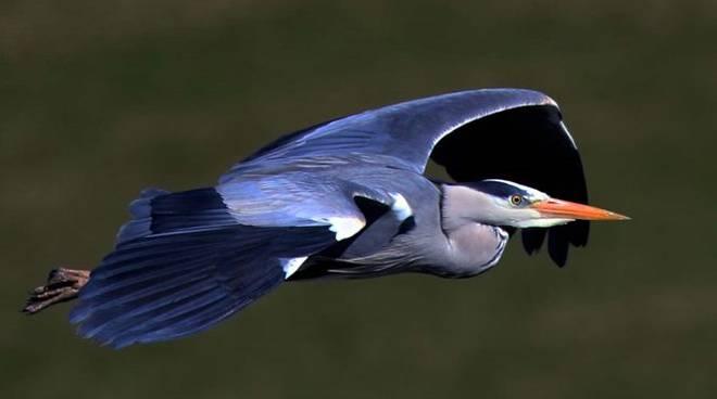 canti uccelli acquatici da