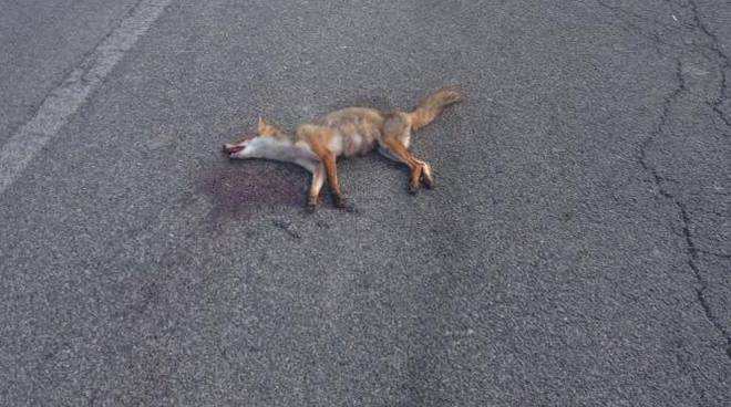 volpe morta