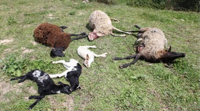 """Trovati morti pecore e agnellini, l'Apac denuncia: """"Potrebbero essere stati i lupi"""""""