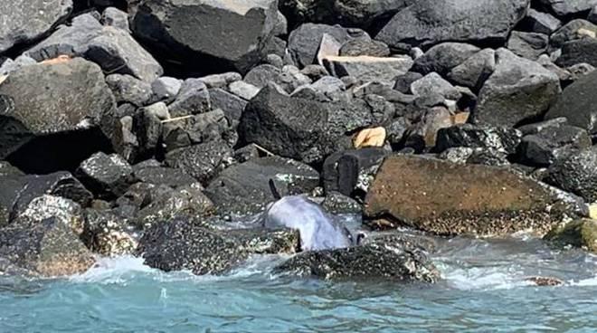 delfino morto ostia