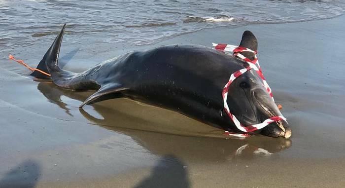 delfino morto spiaggiato