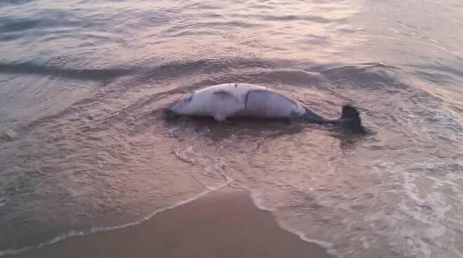 delfino spiaggiato passoscuro