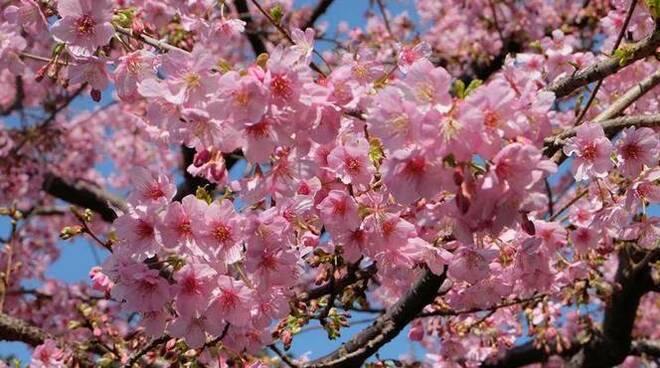 ciliegi giapponesi in fiore