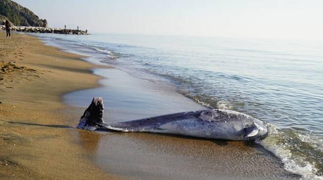 Delfino trovato morto a Marina di Minturno, non si esclude l'ipotesi morbillo