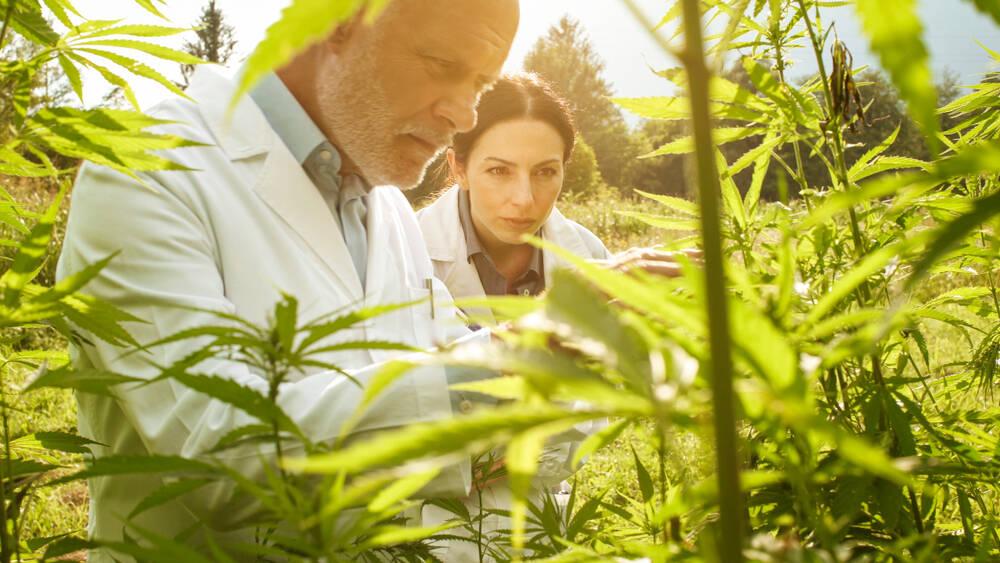 cannabis, hashish e marijuana