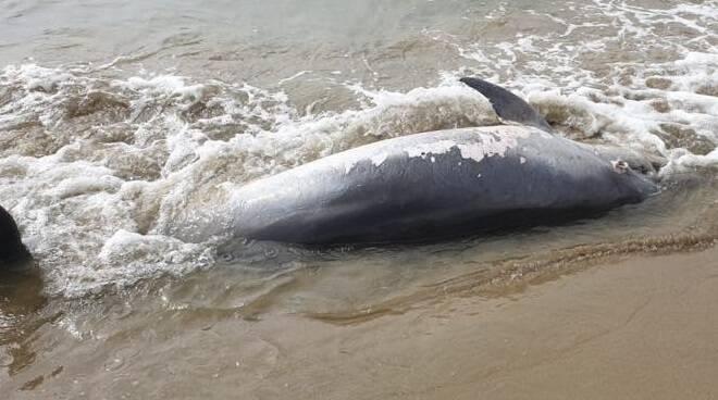 Delfino trovato morto a San Felice Circeo