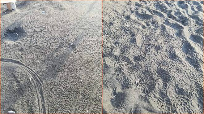 tartarughe ventotene