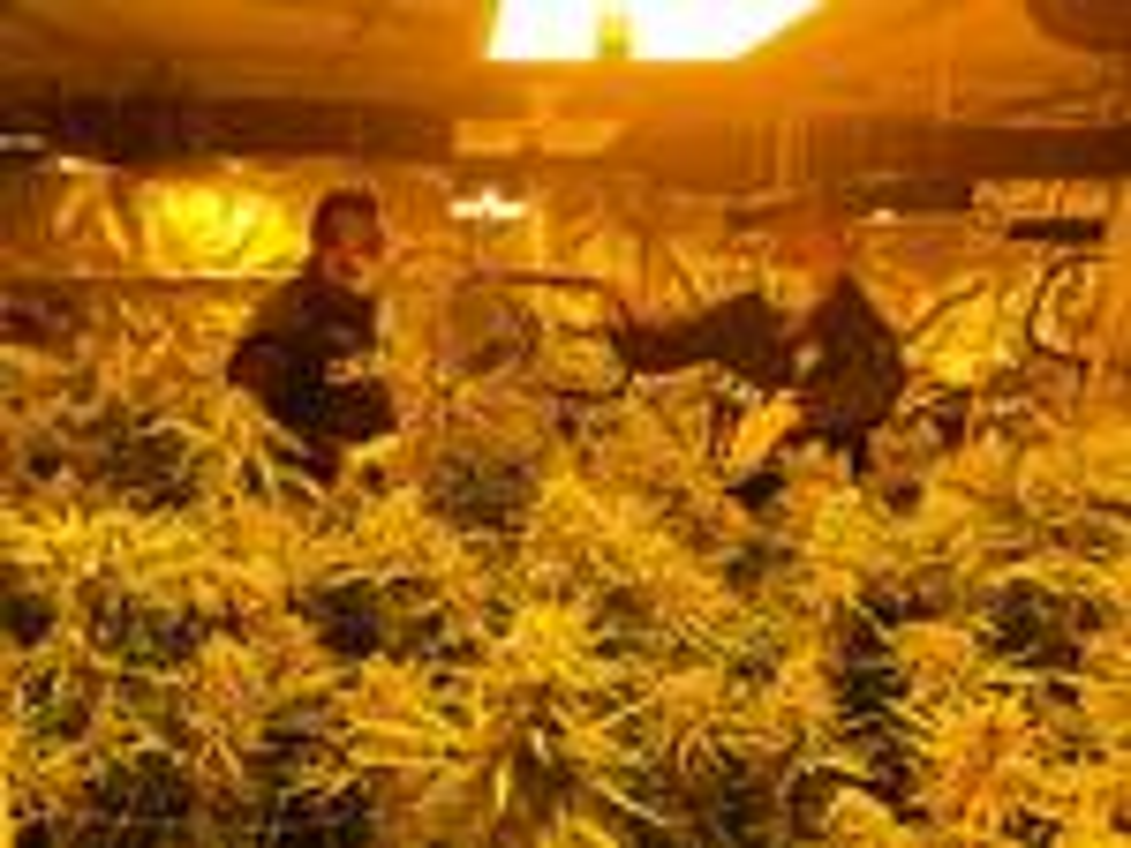 marijuana pomezia