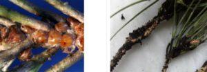 A sinistra le cocciniglie con le loro uova aderenti agli aghi di pino che muoiono avvolti dalla melata fuligginosa
